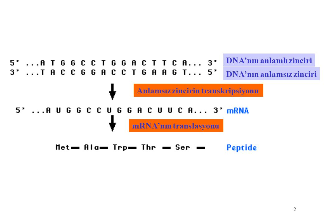 2 DNA'nın anlamlı zinciri DNA'nın anlamsız zinciri Anlamsız zincirin transkripsiyonu mRNA'nın translasyonu