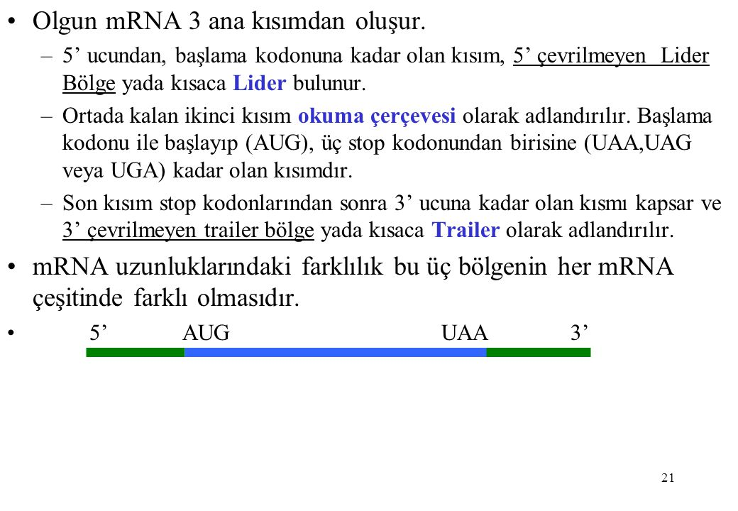 21 Olgun mRNA 3 ana kısımdan oluşur. –5' ucundan, başlama kodonuna kadar olan kısım, 5' çevrilmeyen Lider Bölge yada kısaca Lider bulunur. –Ortada kal