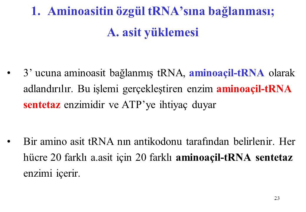 23 1.Aminoasitin özgül tRNA'sına bağlanması; A. asit yüklemesi 3' ucuna aminoasit bağlanmış tRNA, aminoaçil-tRNA olarak adlandırılır. Bu işlemi gerçek