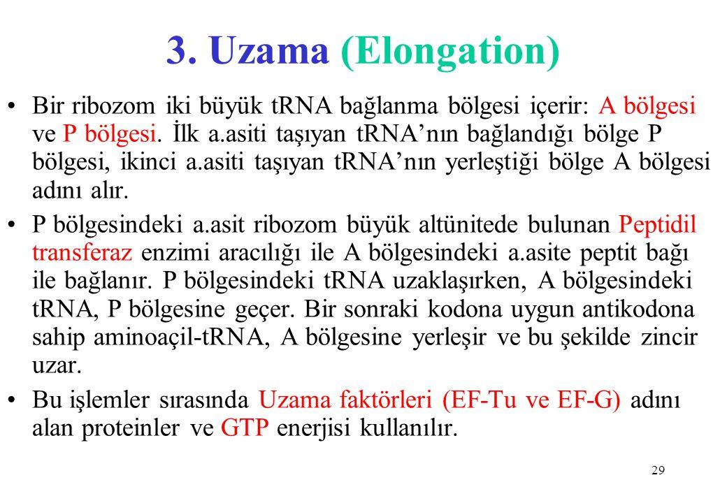 29 3. Uzama (Elongation) Bir ribozom iki büyük tRNA bağlanma bölgesi içerir: A bölgesi ve P bölgesi. İlk a.asiti taşıyan tRNA'nın bağlandığı bölge P b