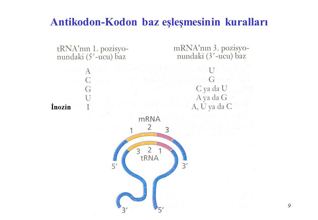 20 Ribozomlar Bakteri, Ökaryot ve Prokaryot Ribozomlarının karşılaştırması Bakteri (70S)Ökaryot (80S)Mitokondri (55S) Büyük Altünit50S60S39S rRNAs 23S (2904 baz)28S (4700 baz)16S (1560 baz) 5S (120 baz) 5.8S (160 baz) Proteins33~4948 Small Subunit30S40S28S rRNA16S (1542 baz)18S (1900 baz)12S (950 baz) Proteins20~3329