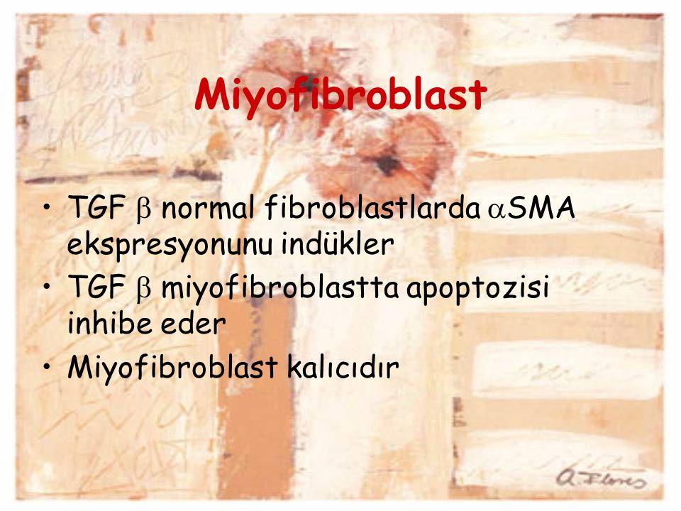Miyofibroblast TGF  normal fibroblastlarda  SMA ekspresyonunu indükler TGF  miyofibroblastta apoptozisi inhibe eder Miyofibroblast kalıcıdır
