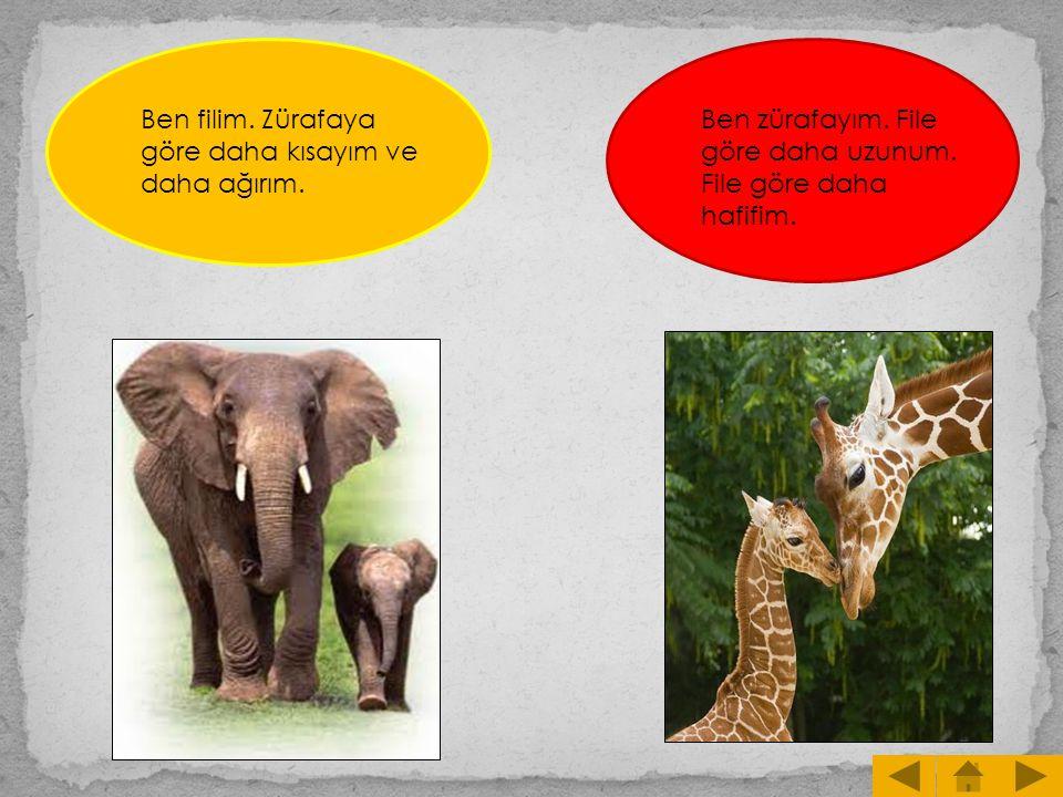 Ben filim. Zürafaya göre daha kısayım ve daha ağırım. Ben zürafayım. File göre daha uzunum. File göre daha hafifim.