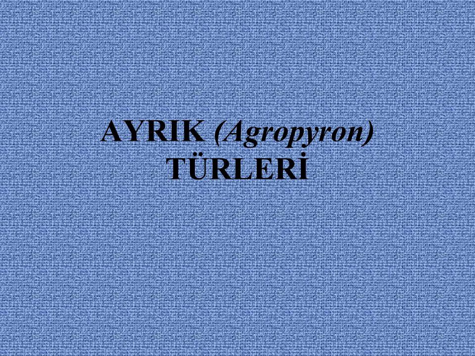 AYRIK (Agropyron) TÜRLERİ