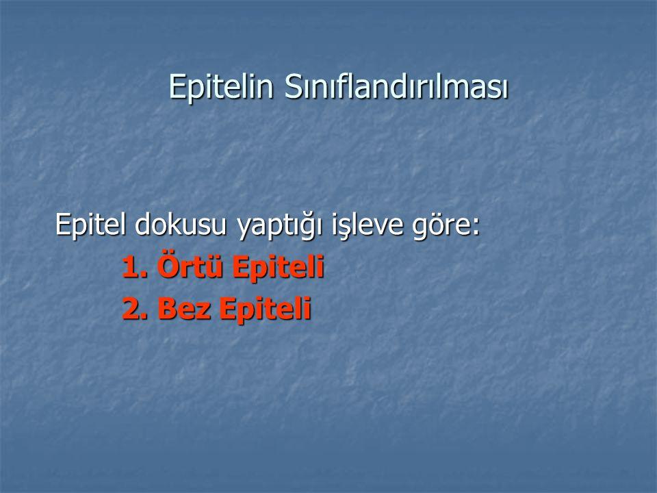 Epitelin Sınıflandırılması Epitelin Sınıflandırılması Epitel dokusu yaptığı işleve göre: 1. Örtü Epiteli 2. Bez Epiteli