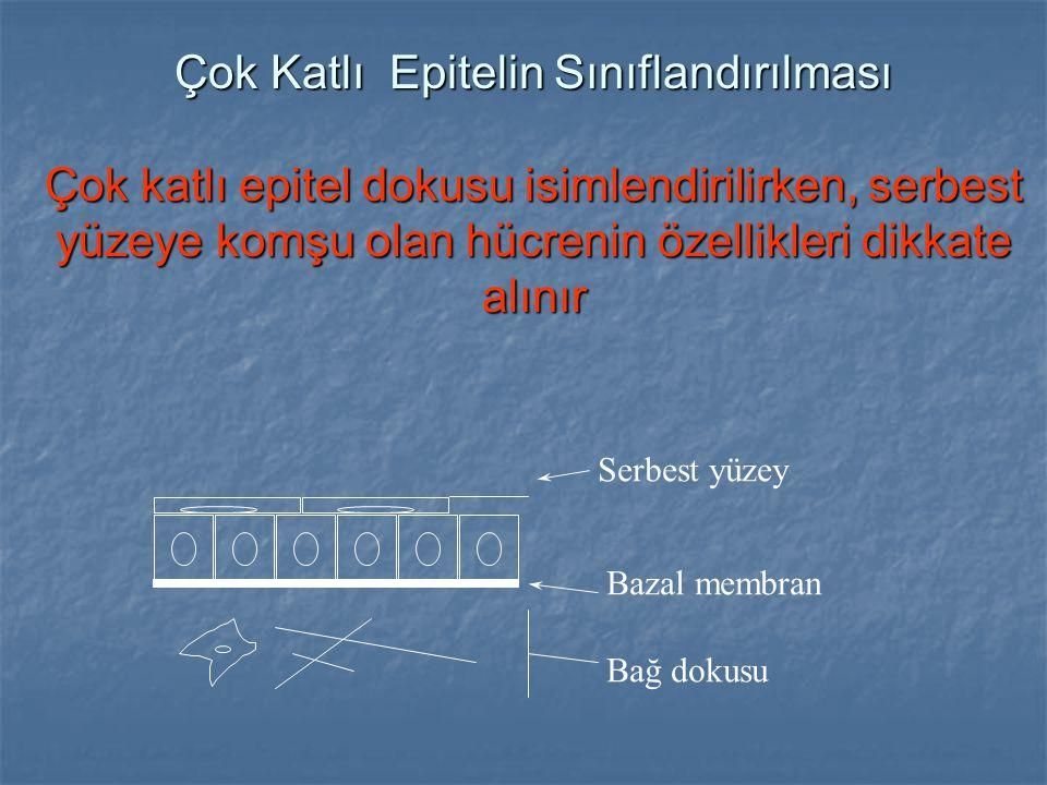 Çok Katlı Epitelin Sınıflandırılması Çok katlı epitel dokusu isimlendirilirken, serbest yüzeye komşu olan hücrenin özellikleri dikkate alınır Bazal me