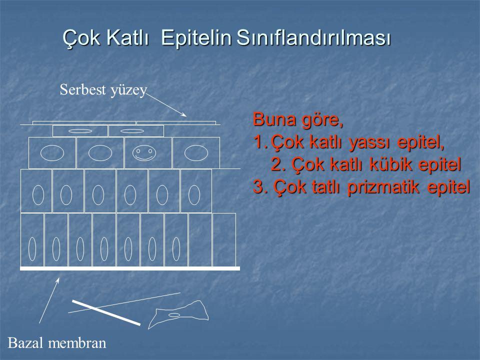 Serbest yüzey Bazal membran Çok Katlı Epitelin Sınıflandırılması Buna göre, 1.Çok katlı yassı epitel, 2. Çok katlı kübik epitel 3. Çok tatlı prizmatik