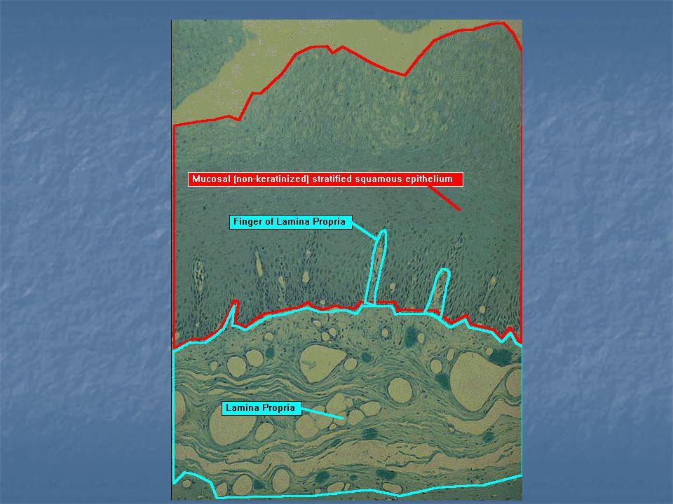 Çok katlı keratinize epitel:  Vücudun dış kısmını örten yaygın keratinize çok katlı epitel  Derinin epidermis tabakasıdır.