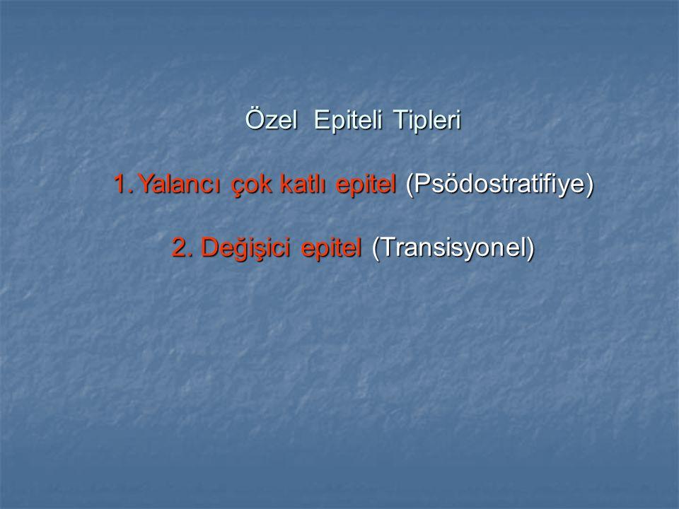 Özel Epiteli Tipleri 1.Yalancı çok katlı epitel (Psödostratifiye) 2. Değişici epitel (Transisyonel)