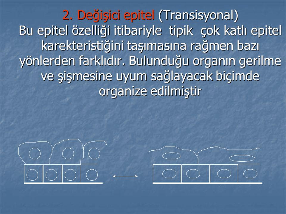 2. Değişici epitel (Transisyonal) Bu epitel özelliği itibariyle tipik çok katlı epitel karekteristiğini taşımasına rağmen bazı yönlerden farklıdır. Bu