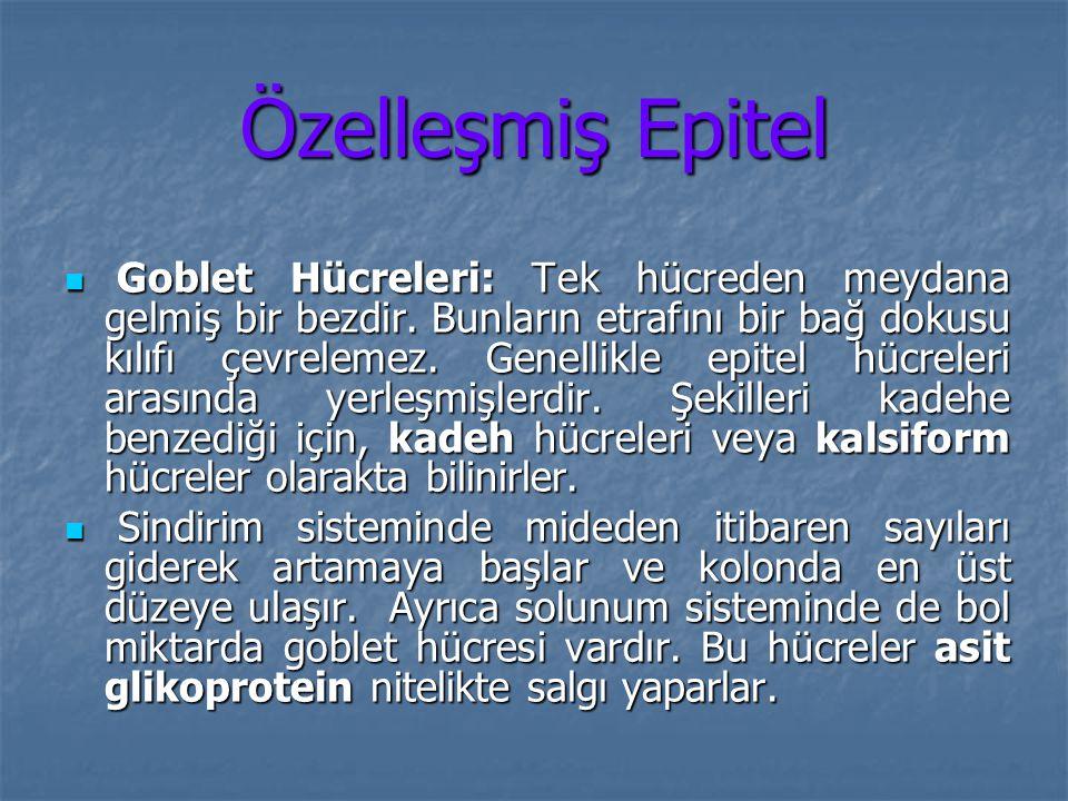 Özelleşmiş Epitel Goblet Hücreleri: Tek hücreden meydana gelmiş bir bezdir. Bunların etrafını bir bağ dokusu kılıfı çevrelemez. Genellikle epitel hücr