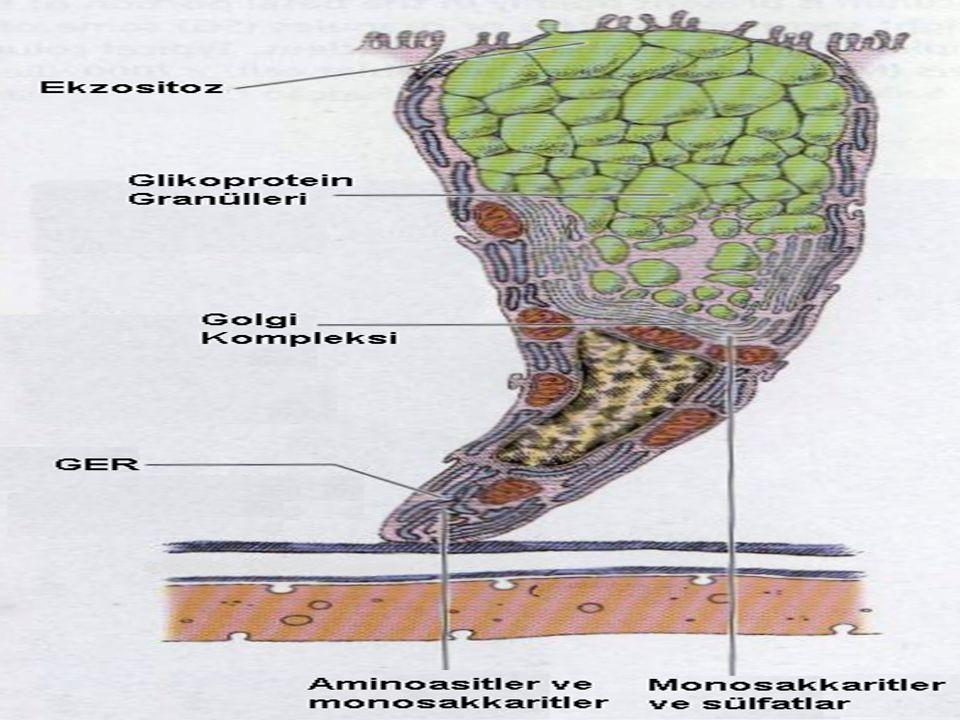 Özelleşmiş Epitel Miyoepitelyal Hücreler: Dış salgı bezlerinin son kısımlarında, salgı hücresi ile bazal lamina arasında bulunan ektodermal kökenli hücrelerdir.