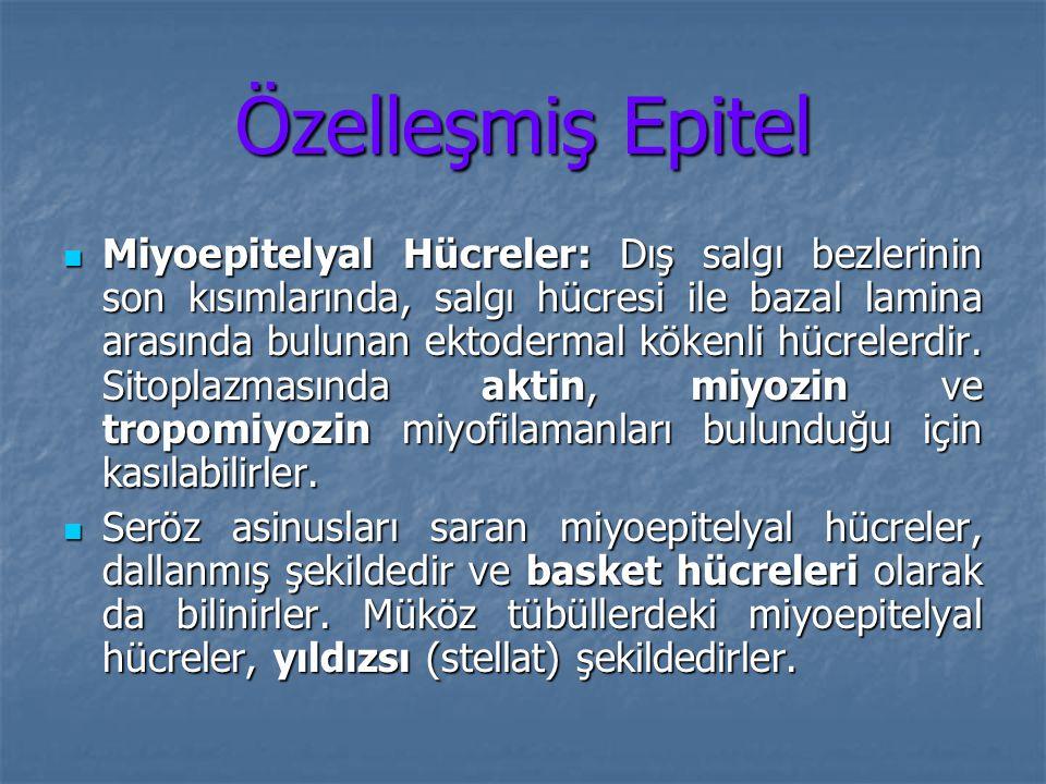 Özelleşmiş Epitel Miyoepitelyal Hücreler: Dış salgı bezlerinin son kısımlarında, salgı hücresi ile bazal lamina arasında bulunan ektodermal kökenli hü