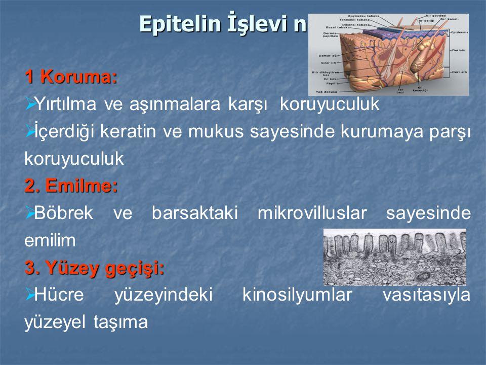 Epitelin İşlevi nedir ? 1 Koruma:  Yırtılma ve aşınmalara karşı koruyuculuk  İçerdiği keratin ve mukus sayesinde kurumaya parşı koruyuculuk 2. Emilm