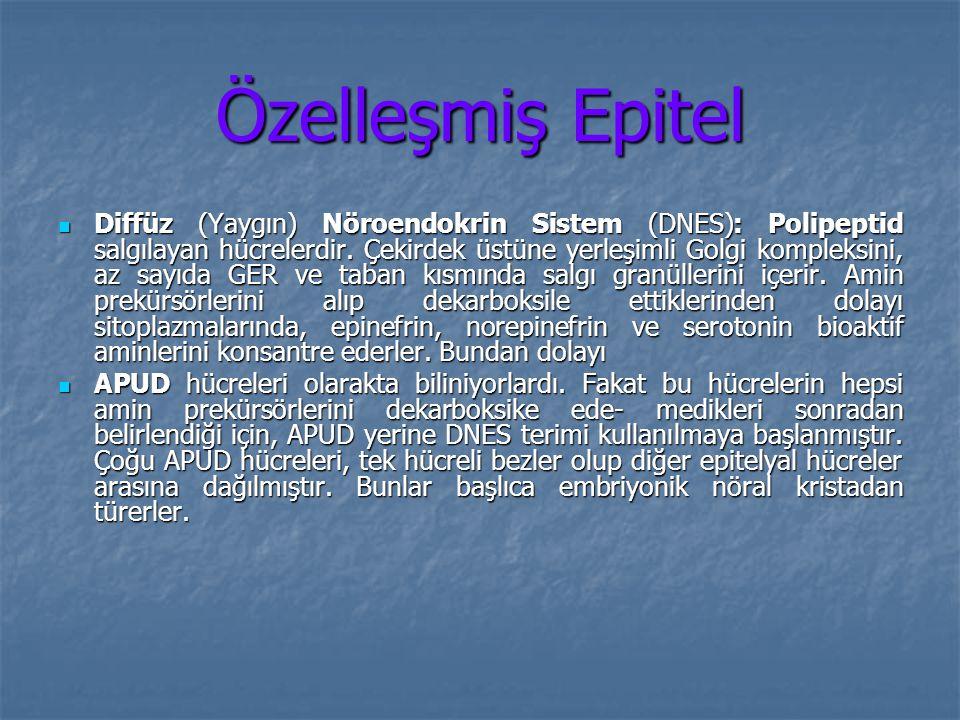 Özelleşmiş Epitel Diffüz (Yaygın) Nöroendokrin Sistem (DNES): Polipeptid salgılayan hücrelerdir. Çekirdek üstüne yerleşimli Golgi kompleksini, az sayı
