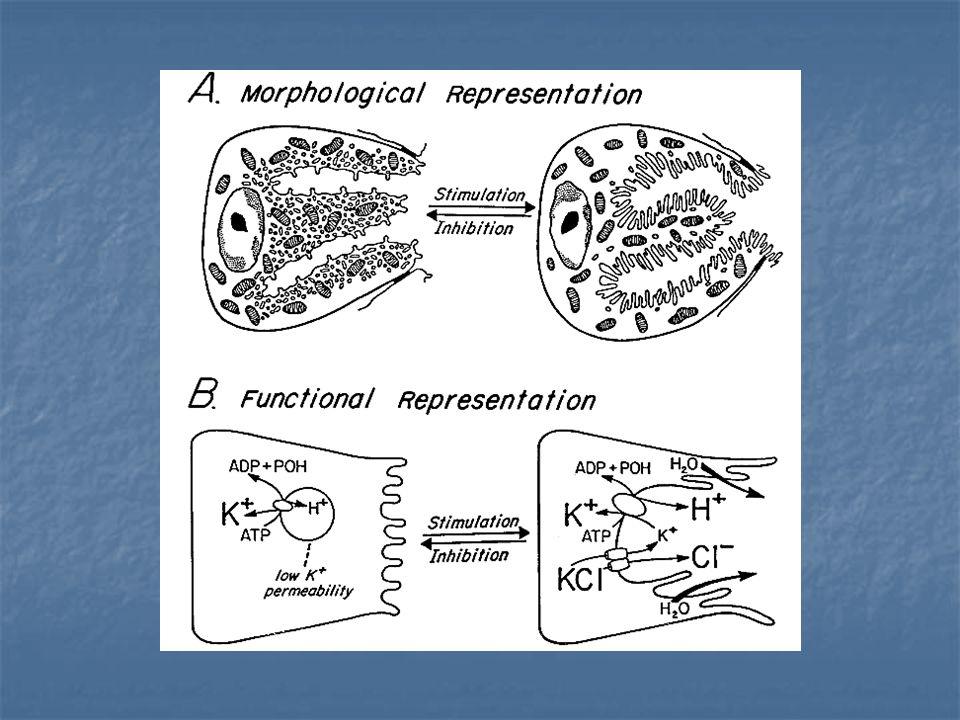 Bez Epiteli Salgı yapan epiteli ifade eder.Endokrin ve ekzokrin olmak üzere iki çeşittir.