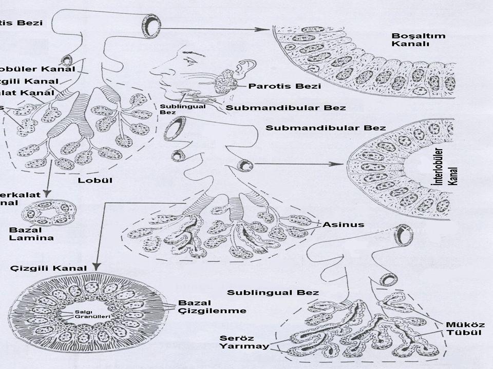 Ekzokrin Bezler Çizgili kanalların en önemli özelliği, hücre tabanından çekirdeklere doğru uzanan zar katlantılarından meydana gelmiş olmalarıdır.