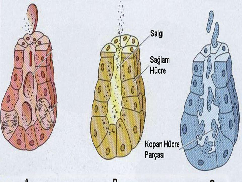 Vücudumuzda, bezlerin kanal ve salgı kısımlarının değişik şekilde bir araya gelmesiyle aşağıdaki bez yapıları meydana gelir: A Basit Tübüler Bezler: Kalın barsağın salgı bezlerinde olduğu gibi salgısal kısımları, goblet hücrelerince meydana getirilmiş düz tübüler yapıdaki bezlerdir.
