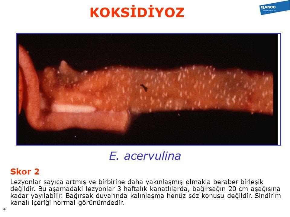 E. acervulina Skor 2 Lezyonlar sayıca artmış ve birbirine daha yakınlaşmış olmakla beraber birleşik değildir. Bu aşamadaki lezyonlar 3 haftalık kanatl