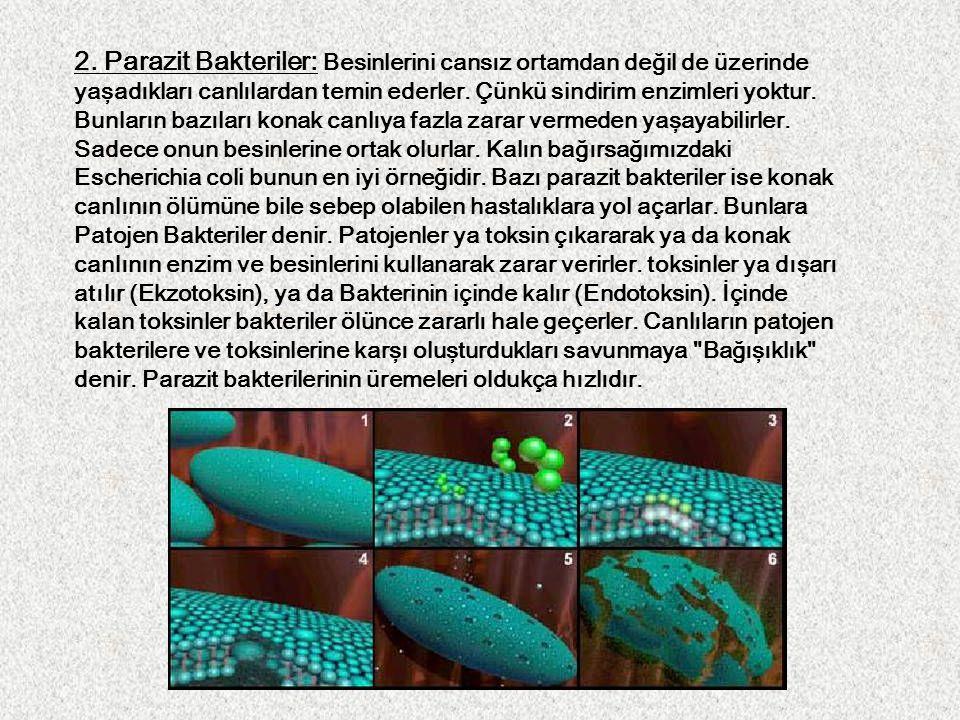 2. Parazit Bakteriler: Besinlerini cansız ortamdan değil de üzerinde yaşadıkları canlılardan temin ederler. Çünkü sindirim enzimleri yoktur. Bunların