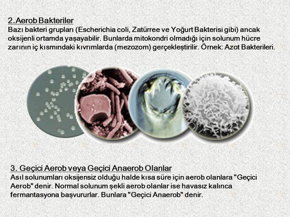2.Aerob Bakteriler Bazı bakteri grupları (Escherichia coli, Zatürree ve Yoğurt Bakterisi gibi) ancak oksijenli ortamda yaşayabilir. Bunlarda mitokondr