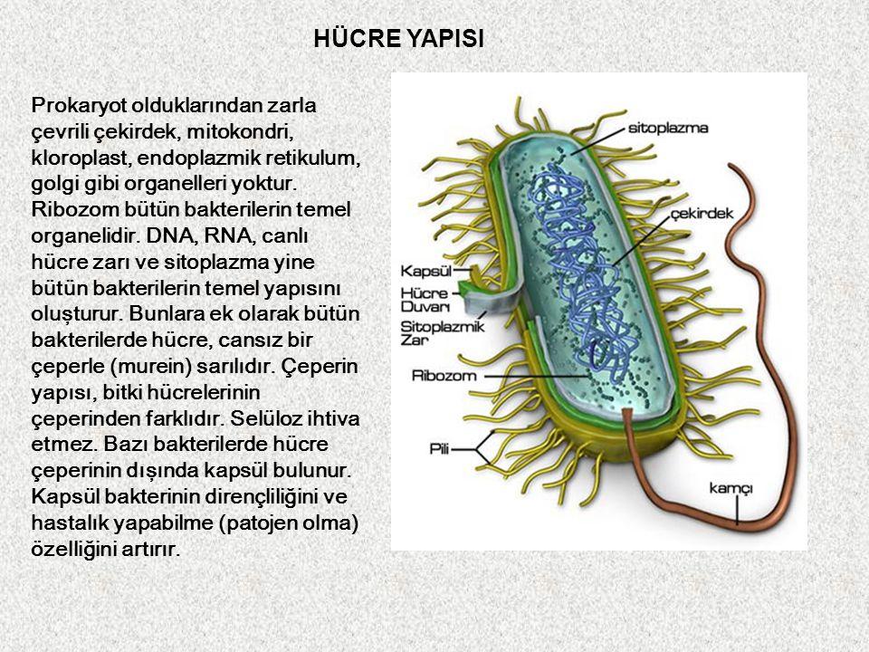 Prokaryot olduklarından zarla çevrili çekirdek, mitokondri, kloroplast, endoplazmik retikulum, golgi gibi organelleri yoktur. Ribozom bütün bakteriler