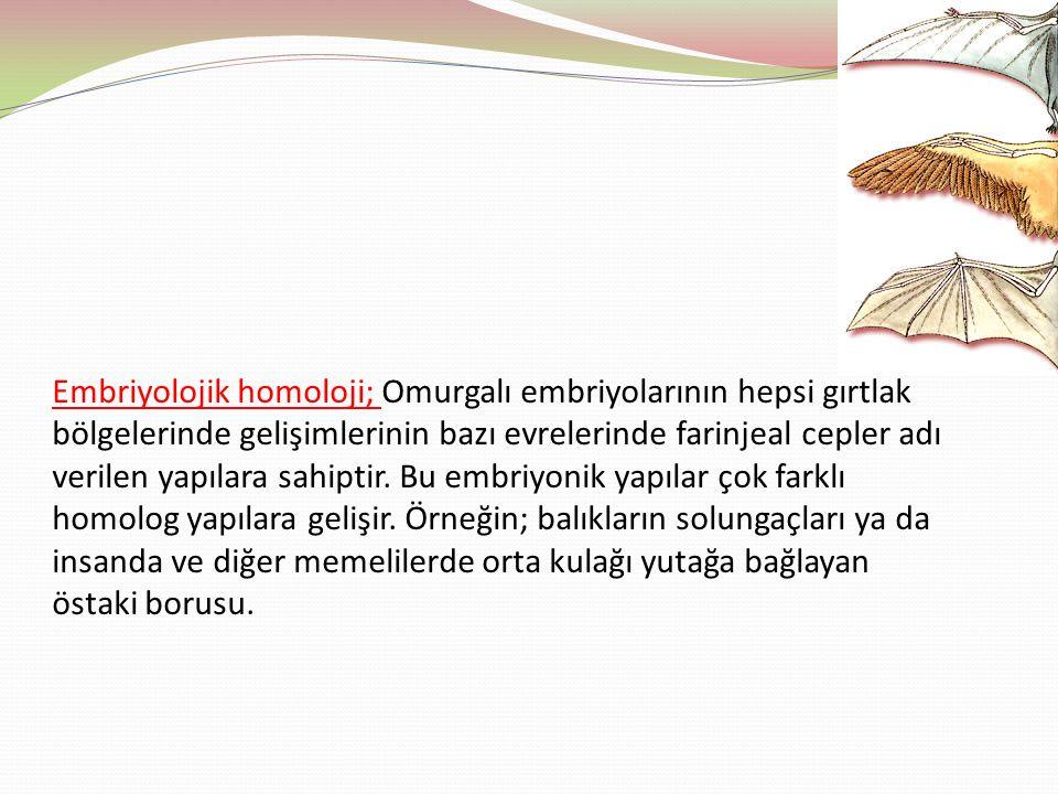 Embriyolojik homoloji; Omurgalı embriyolarının hepsi gırtlak bölgelerinde gelişimlerinin bazı evrelerinde farinjeal cepler adı verilen yapılara sahipt