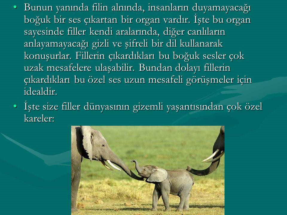 Bunun yanında filin alnında, insanların duyamayacağı boğuk bir ses çıkartan bir organ vardır. İşte bu organ sayesinde filler kendi aralarında, diğer c
