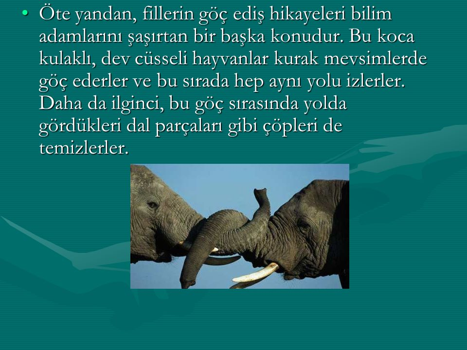 Öte yandan, fillerin göç ediş hikayeleri bilim adamlarını şaşırtan bir başka konudur. Bu koca kulaklı, dev cüsseli hayvanlar kurak mevsimlerde göç ede